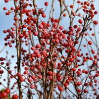 Owocniki jarząbu olcholistnego w O B