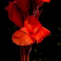 paciorecznik czerwony