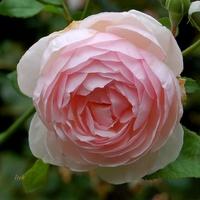 Róża trochę kolorowa