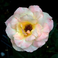 Róża wielokolorowa