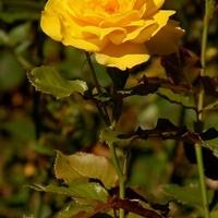 Róża z kolcami