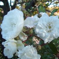 Rozkwitały pęki białych ......