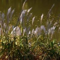 Trawy ozdobne w Łazienkach Królewskich