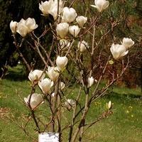 Wiosenna magnolia w ogrodzie botanicznym