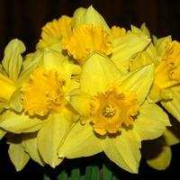 Wiosenne żonkile