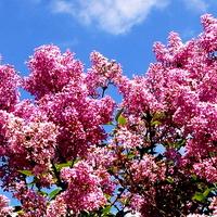 Wiosenny lilak