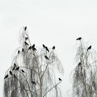 Wrony na brzozie