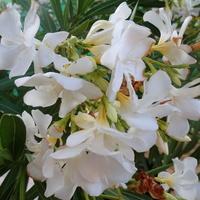 Wspomnienie pięknego kwitnienia :)