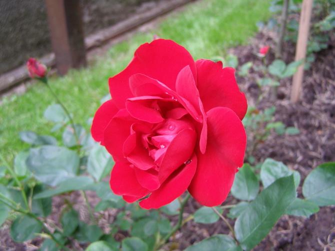 róża Lilli Marleen