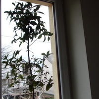 Ardizja wyrosła na całe okno .