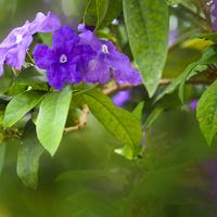 Brunfelsia calycina
