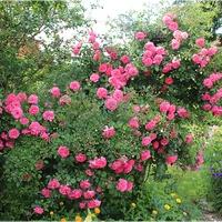 Dużo różu...