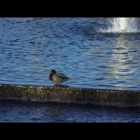 kaczki nad wodą w parku