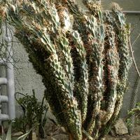 Kaktusy....