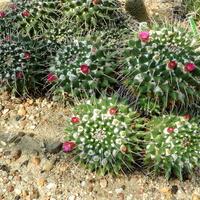 Kaktusy...