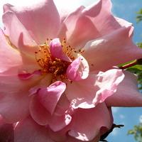 Kwiat w różowym kolorze