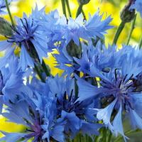 Kwiaty w  niebieskim kolorze