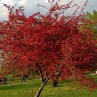Kwitnące Drzewo W P