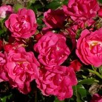 małe róże...