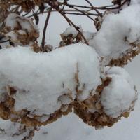 Śniegowe pompony .