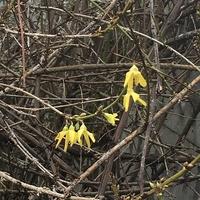 Pierwsze oznaki wiosny w grudniu?