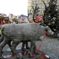 Renifery na Wrocławskim Rynku