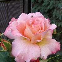 Róża  Albrecht Durer