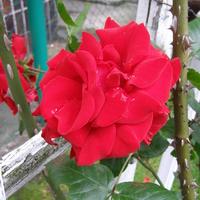 Róża SANTANA..