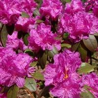 różanecznik różowy