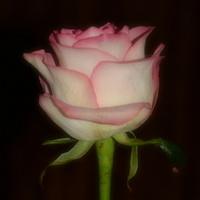 Taką różę dostałem dzisiaj