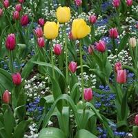 tulipany polskie