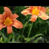 wysokie kwiaty