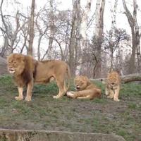 Zabawy lwów