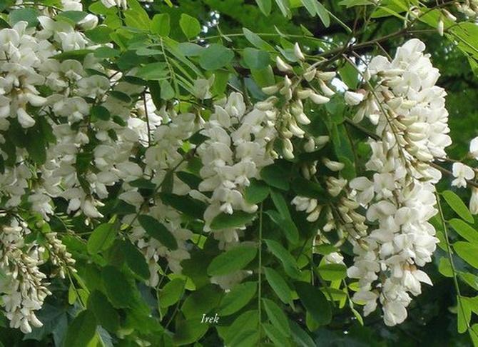 akacja biała