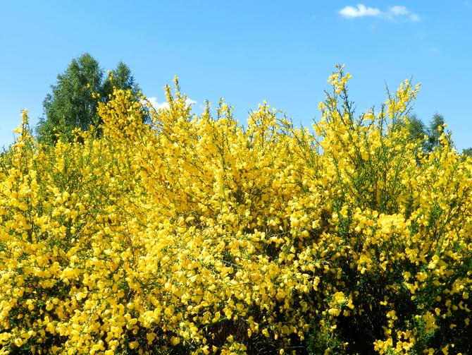 Żarnowiec,słoneczny kwiat