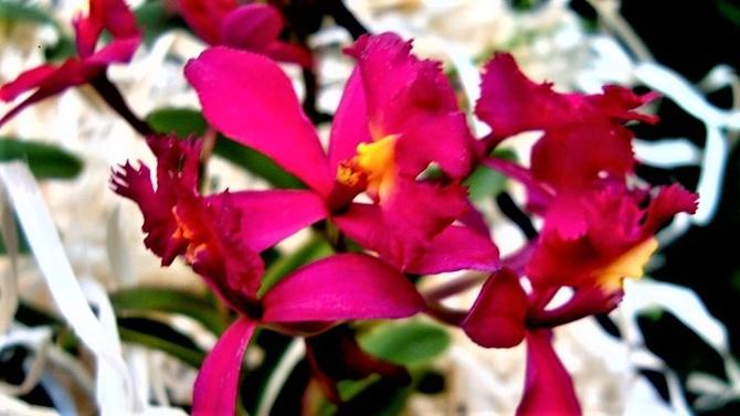 Epidendrum Red.   Makro .