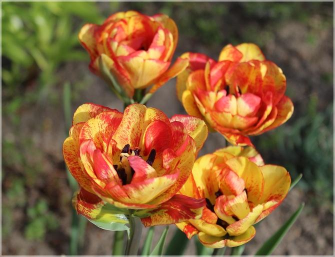 Gorące tulipany...