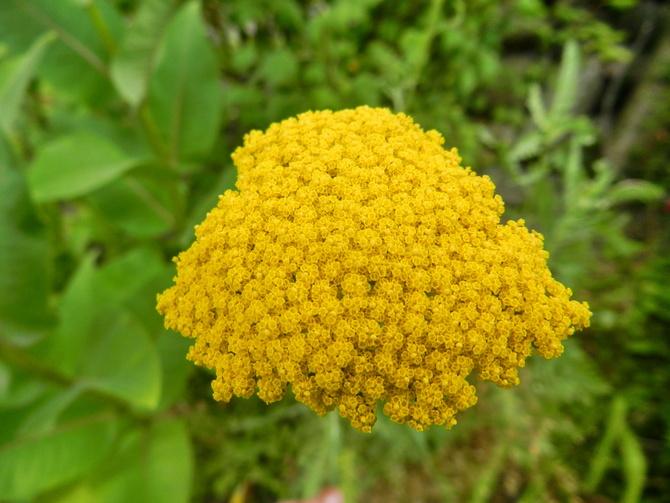 Krwawnik,słoneczny kwiat