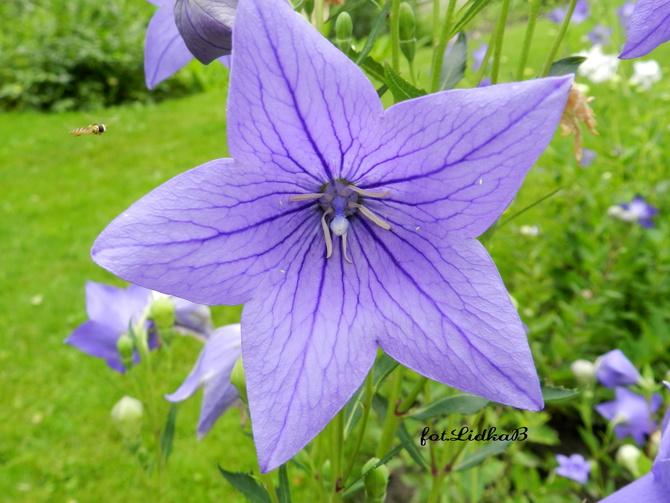Kwiat fioletowy