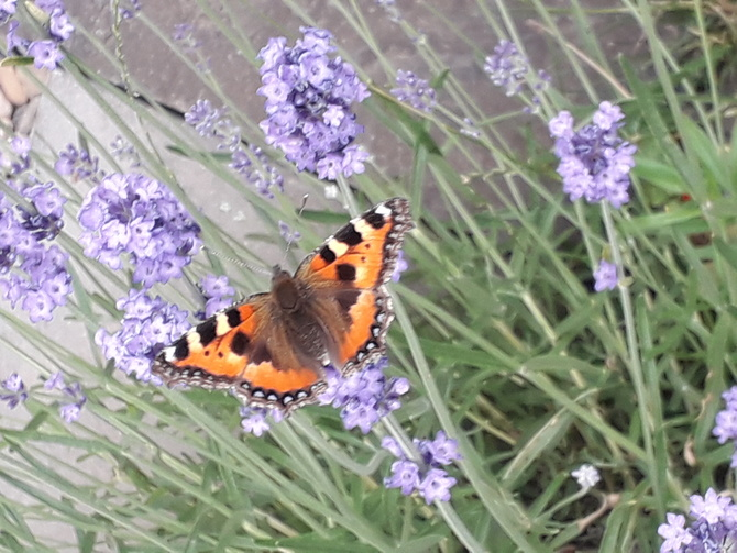 Motylkowy c. d.