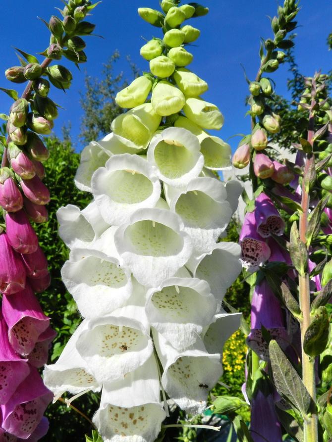 Urocze dzwonki w ogrodzie