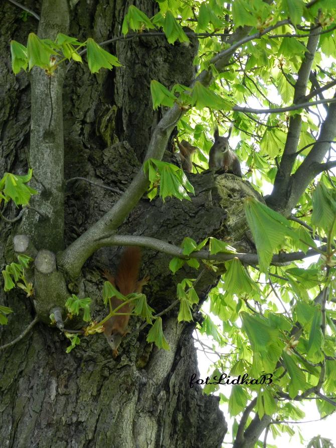 Wiewiórki.