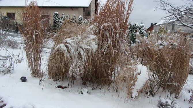 Zimowe rozczochrańce  - dziś już bez śniegu .