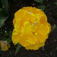A może żółte tulipany nas ogrzeją
