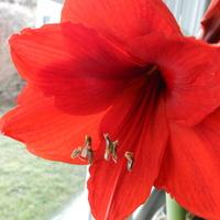 Amarylis czerwony
