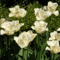 białe tulipany zamiast śniegu