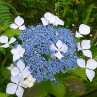 Biało-niebieska....