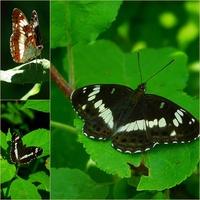czarny motyl ......