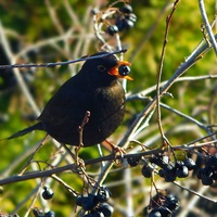 czarny ptak ......