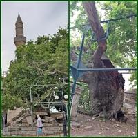 Drzewo Hipokratesa na Wyspie Kos